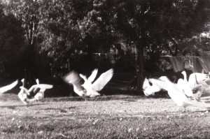 """Geese"" Photo by Elizabeth Cooke (James Reaney's mother), 1950 near Stratford, Ontario."